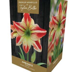 Amaryllis Ambiance Premium