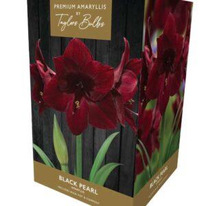 Amaryllis Black Pearl  Premium
