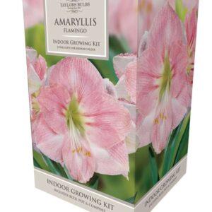 Amaryllis Flamingo 26-28