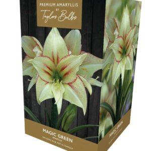 Amaryllis Magic Green Exotic