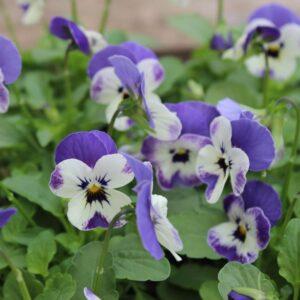 Viola Delft Blue