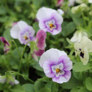 Viola Raspberry Sundae Mix