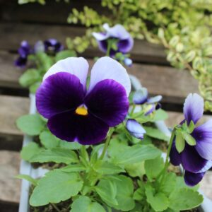 Pansy Beaconsfield 6 Pack