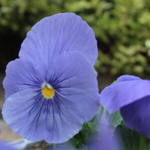 Pansy True Blue 6 Pack