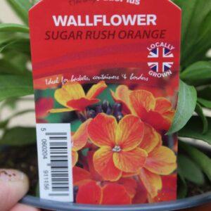 Wallflower Sugar Rush Orange