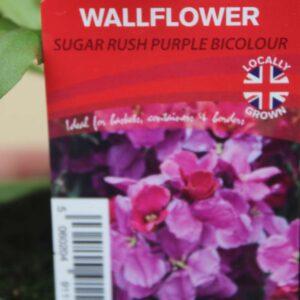 Wallflower Sugar Rush Purple Bi-Colour