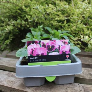 Pansy Strawberry 6 Pack