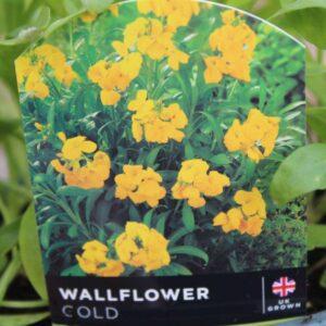 Wallflower Golden Bedder