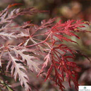 Acer Crimson Queen